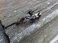 Camponotus ants at Segonzano Castle.jpg