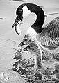 Canada Goose Feeding Goslings DMNO-3.jpg
