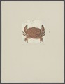 Cancer calypso - - Print - Iconographia Zoologica - Special Collections University of Amsterdam - UBAINV0274 094 15 0010.tif