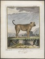 Canis lupus familiaris - 1700-1880 - Print - Iconographia Zoologica - Special Collections University of Amsterdam - UBA01 IZ22300059.tif