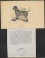 Canis lupus familiaris - 1700-1880 - Print - Iconographia Zoologica - Special Collections University of Amsterdam - UBA01 IZ22300065.tif