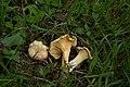 Cantharellus cibarius 88564654.jpg