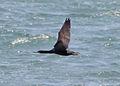 Cape Cormorant (8077278173).jpg