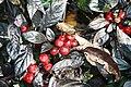 Capsicum annuum Black Pearl 5zz.jpg