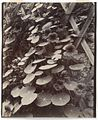 Capucines (Nasturtiums) by Eugène Atget.jpeg