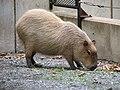 Capybara at the Washington Zoo.jpg