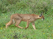 Caracal hunting in the serengeti.jpg