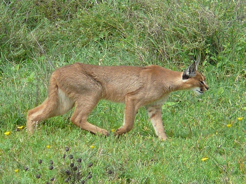Fichier:Caracal hunting in the serengeti.jpg