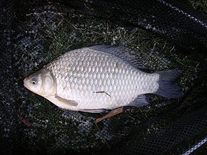 Jialing River - Carassius auratus