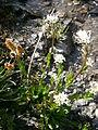 Cardamine alpina 01.JPG