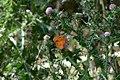 Cardo y Mariposa - panoramio.jpg