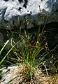 Carex alba 2.jpg