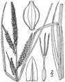 Carex barrattii drawing 1.png