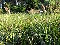 Carex caryophyllea sl30.jpg