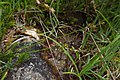 Carex echinata inflorescens (20).jpg