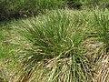 Carex paniculata plant 01).jpg