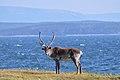 Caribou (Rangifer tarandus) - Port au Choix, Newfoundland 2019-08-19 (03).jpg