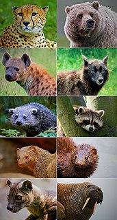 Carnivora order of mammals