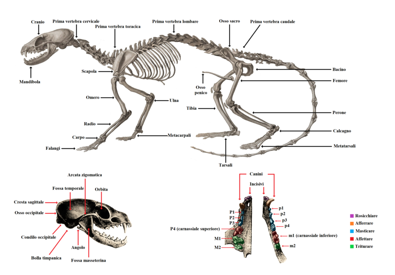 Carnivoran skeletal, cranial and dental anatomy (IT).png