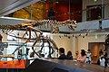 Carnotaurus Los Angeles, Natural History Museum.jpg