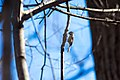 Carolina chickadee (39500682034).jpg