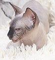 Cat - Sphynx. img 074.jpg