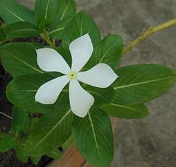 https://upload.wikimedia.org/wikipedia/commons/thumb/4/43/Catharanthus_roseus_Madagascar_periwinkle_White.JPG/254px-Catharanthus_roseus_Madagascar_periwinkle_White.JPG