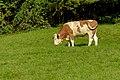Cattle 22.jpg