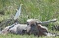 Cattle Egret on Water Buffalo at Buruma near Baucau.jpg