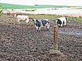 Cattle in the brown stuff - geograph.org.uk - 164844.jpg