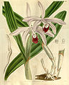Cattleya intermedia (as Cattleya intermedia var. angustifolia) - Curtis' 66 (N.S. 13) pl. 3711 (1840).jpg