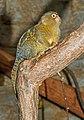 Cebuella pygmaea - Karlsruhe Zoo 02.jpg