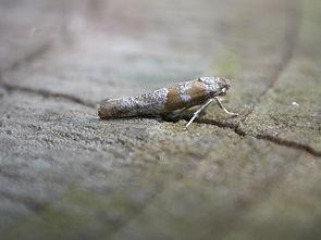 Cedestis gysseleniella.jpg