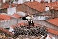 Cegonha Branca ( Ciconia ciconia ) 8 (48309073297).jpg