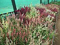 Celosia wool flower from Lalbagh flower show Aug 2013 8465.JPG