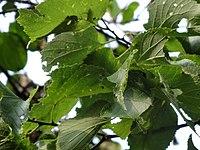 Celtis occidentalis 01007.jpg