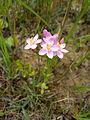 Centaurium erythraea plant.JPG