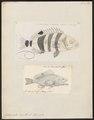 Centropristis hepatus - - Print - Iconographia Zoologica - Special Collections University of Amsterdam - UBA01 IZ12900132.tif