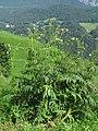 Cephalaria alpina 3 RF.jpg