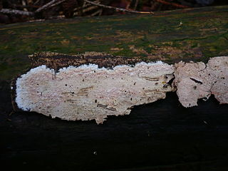 Amylocorticiales order of fungi