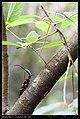Cerambycidae (6903422314).jpg