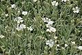 Cerastium tomentosum in Jardin Botanique de l'Aubrac 06.jpg