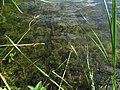 Ceratophyllum IMG 5983.jpg