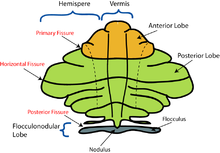 Schematic Representation Of The Major Anatomical Subdivisions Of The Cerebellum Superior View Of An Unrolled Cerebellum Placing The Vermis In One Plane