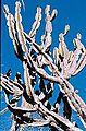 Cereus pierre-braunianus Esteves at type habitat NE Goias, Brasil.jpg