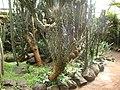 Cereus uruguayanus 2.JPG