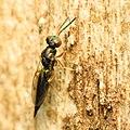 Chalcid Wasp (34396558196).jpg