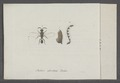 Chalcis - Print - Iconographia Zoologica - Special Collections University of Amsterdam - UBAINV0274 046 12 0015.tif