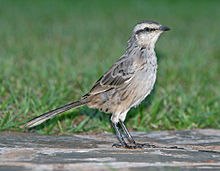 Chalk-Browed Mockingbird.jpg