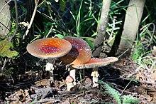 Myc/élium biologique 10 g. Myc/élium de champignons de Gyroporus cyanescens